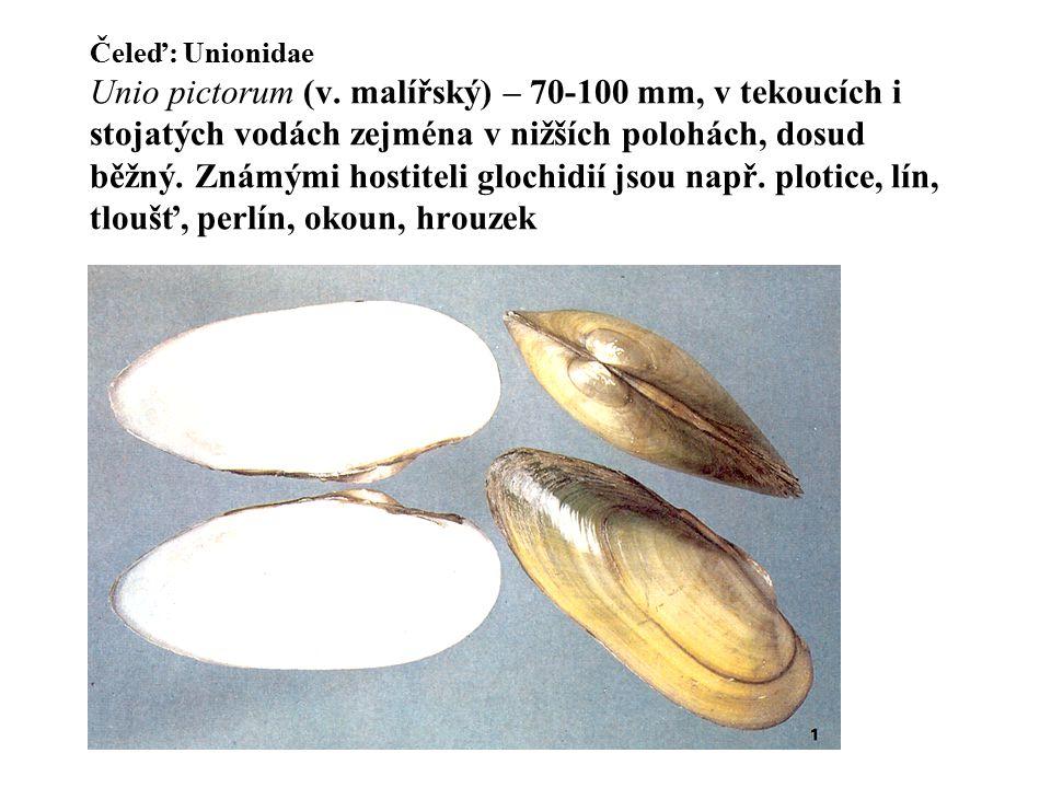 Čeleď: Unionidae Unio pictorum (v. malířský) – 70-100 mm, v tekoucích i stojatých vodách zejména v nižších polohách, dosud běžný. Známými hostiteli gl