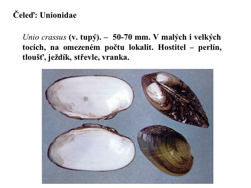 Čeleď: Unionidae Unio crassus (v.tupý). – 50-70 mm.