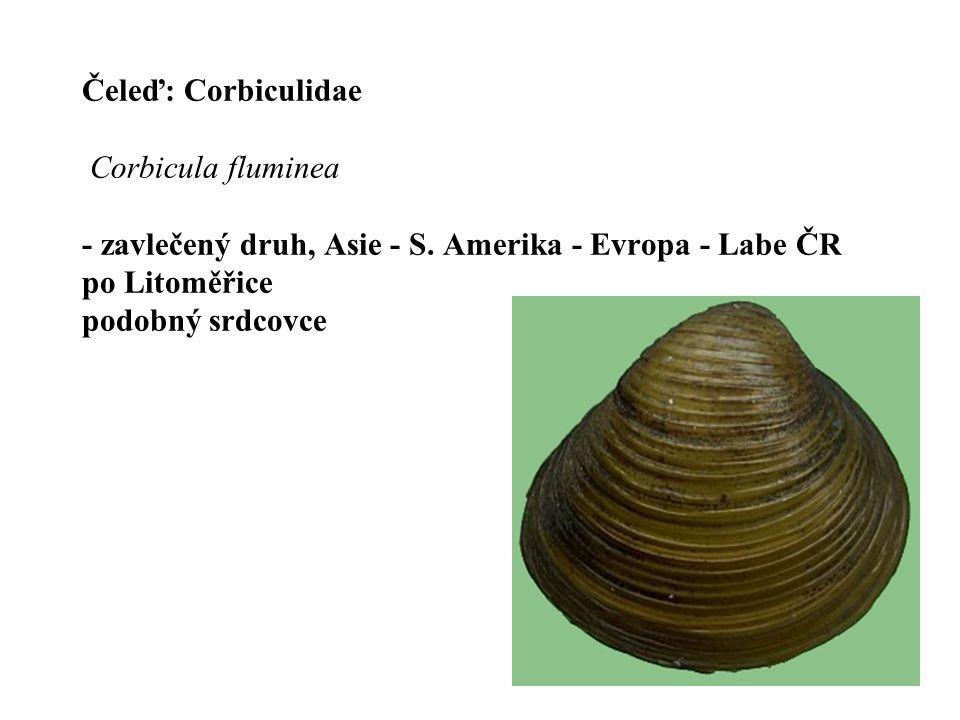 Čeleď: Corbiculidae Corbicula fluminea - zavlečený druh, Asie - S.