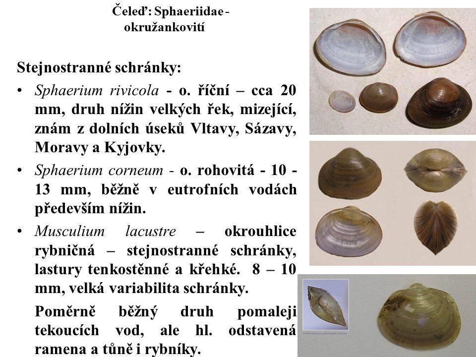 Čeleď: Sphaeriidae - okružankovití Stejnostranné schránky: Sphaerium rivicola - o.
