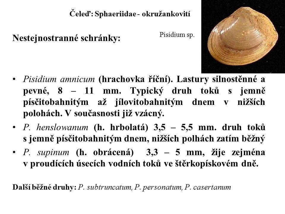 Čeleď: Sphaeriidae - okružankovití Nestejnostranné schránky: Pisidium amnicum (hrachovka říční).