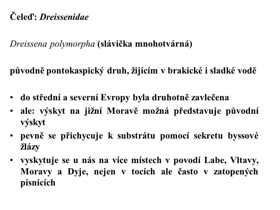 Čeleď: Dreissenidae Dreissena polymorpha (slávička mnohotvárná) původně pontokaspický druh, žijícím v brakické i sladké vodě do střední a severní Evropy byla druhotně zavlečena ale: výskyt na jižní Moravě možná představuje původní výskyt pevně se přichycuje k substrátu pomocí sekretu byssové žlázy vyskytuje se u nás na více místech v povodí Labe, Vltavy, Moravy a Dyje, nejen v tocích ale často v zatopených písnících