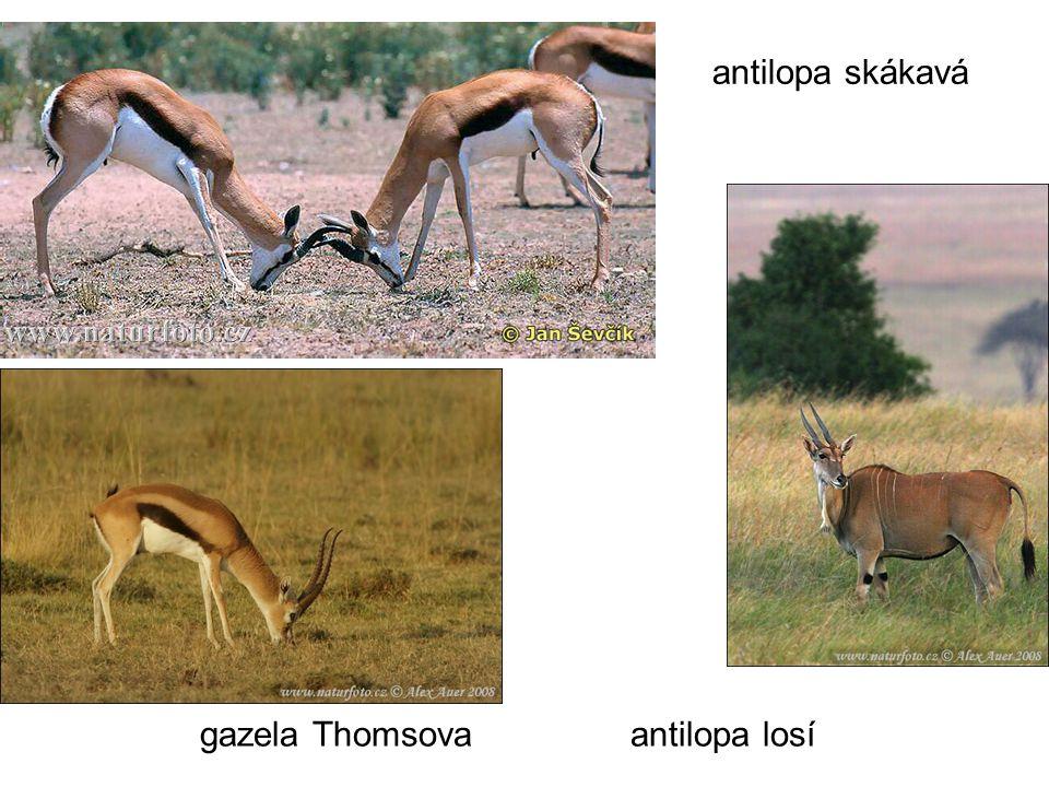 antilopa skákavá gazela Thomsova antilopa losí