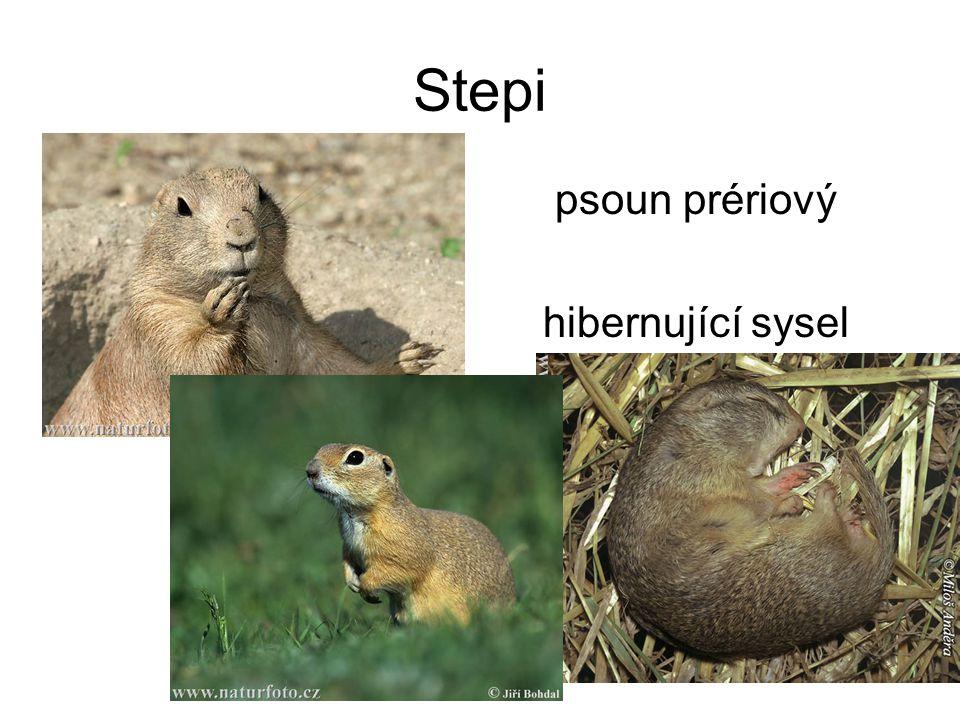 Stepi psoun prériový hibernující sysel obecný