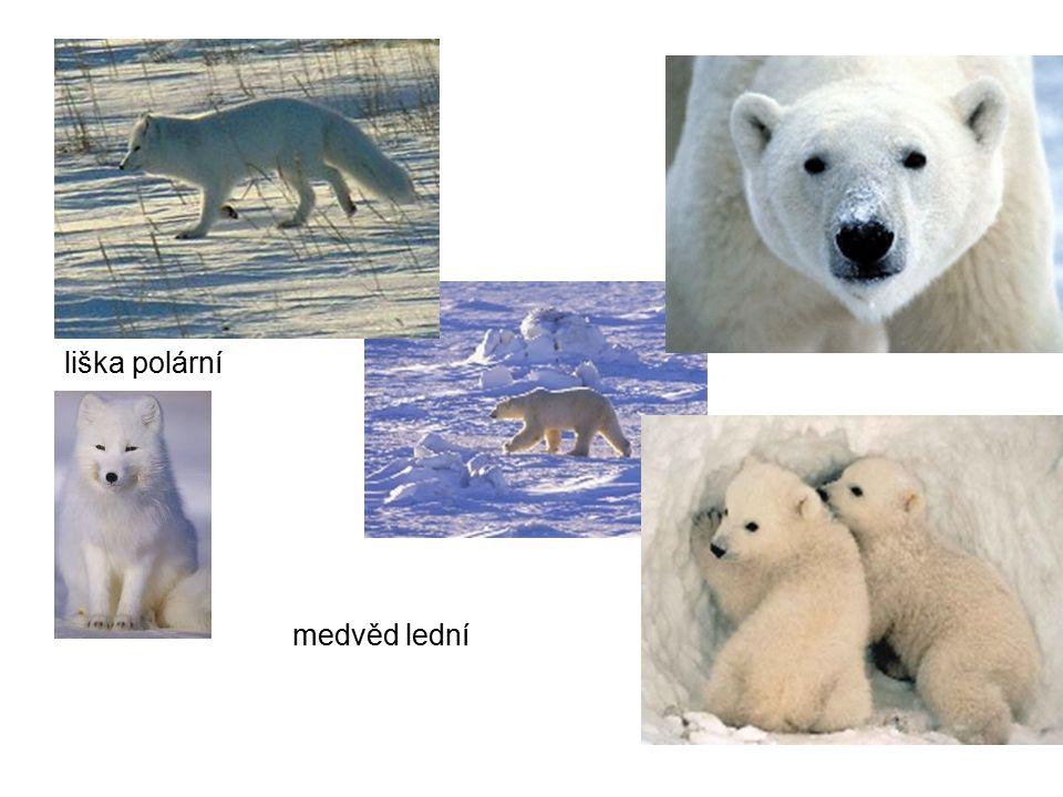 liška polární medvěd lední