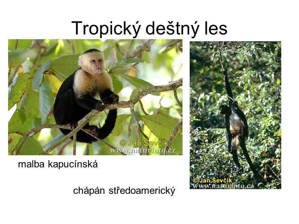 Tropický deštný les malba kapucínská chápán středoamerický