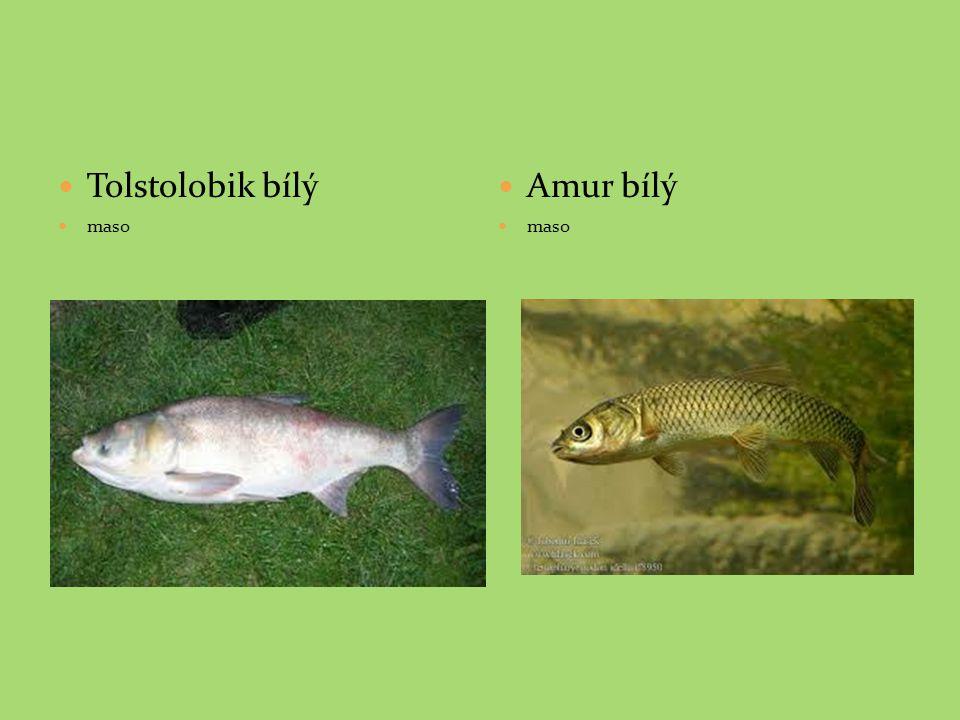 Tolstolobik bílý maso Amur bílý maso