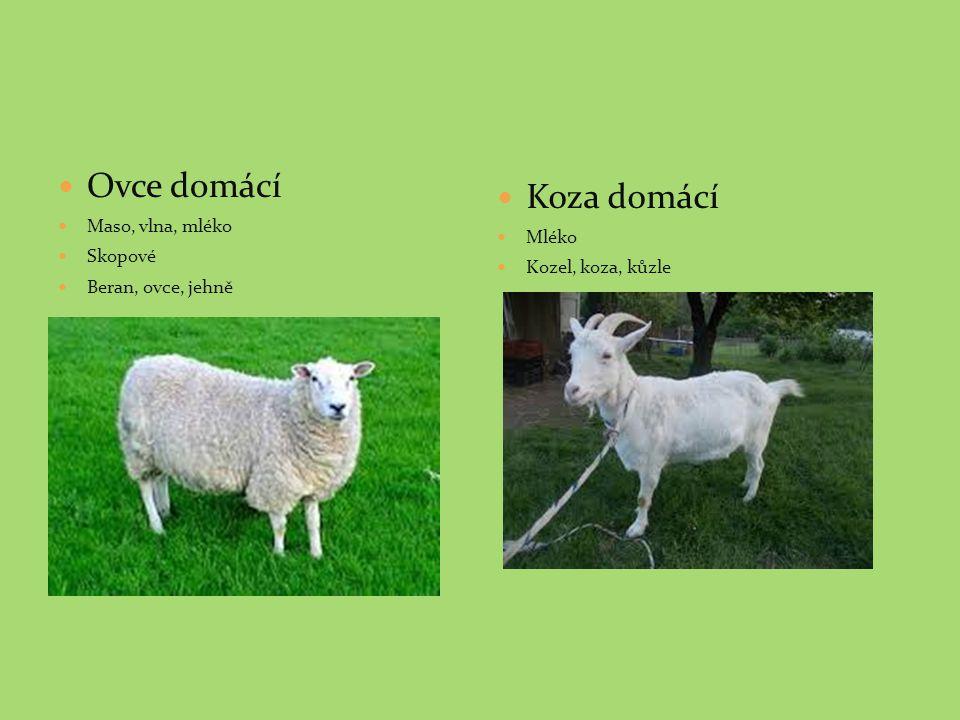 Ovce domácí Maso, vlna, mléko Skopové Beran, ovce, jehně Koza domácí Mléko Kozel, koza, kůzle