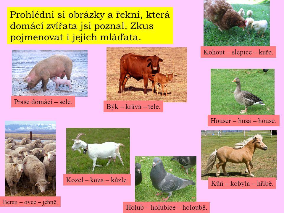 Prohlédni si obrázky a řekni, která domácí zvířata jsi poznal. Zkus pojmenovat i jejich mláďata. Prase domácí – sele. Býk – kráva – tele. Kohout – sle