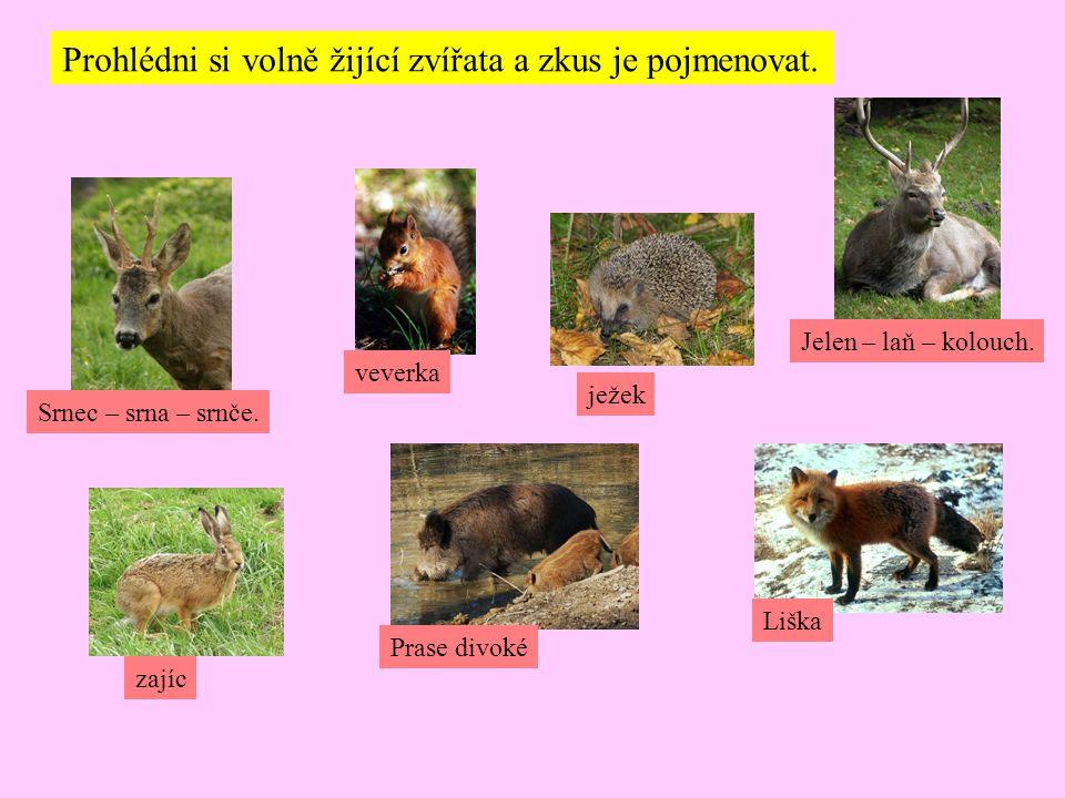 Prohlédni si volně žijící zvířata a zkus je pojmenovat. Srnec – srna – srnče. zajíc Prase divoké Liška veverka ježek Jelen – laň – kolouch.