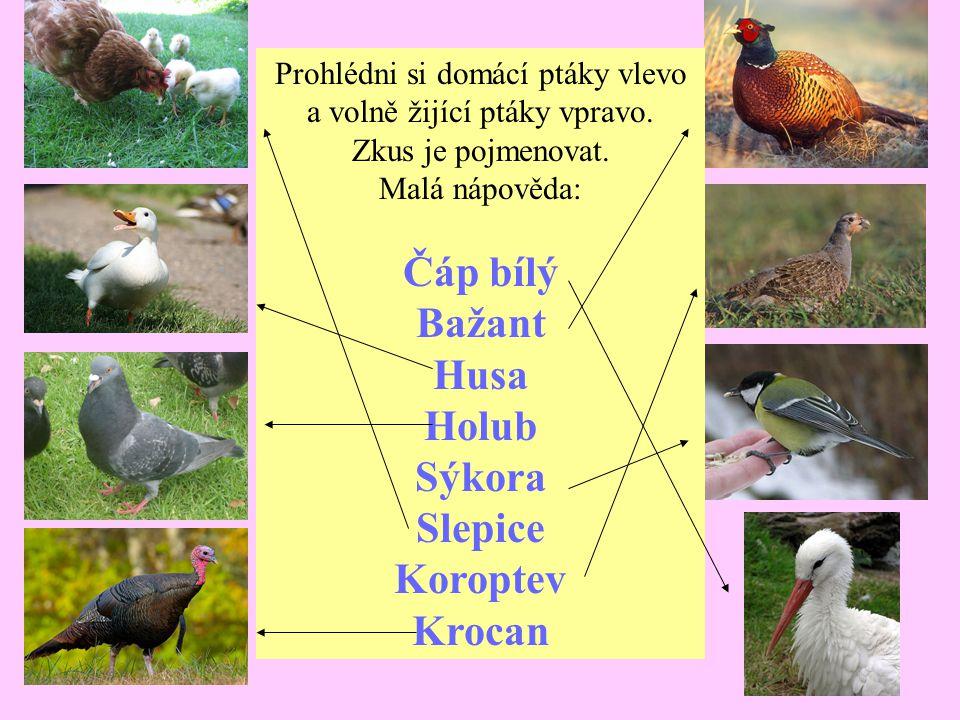 Prohlédni si domácí ptáky vlevo a volně žijící ptáky vpravo. Zkus je pojmenovat. Malá nápověda: Čáp bílý Bažant Husa Holub Sýkora Slepice Koroptev Kro