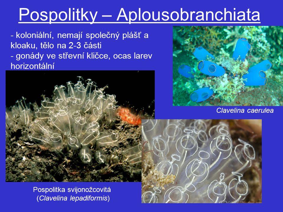 Pospolitky – Aplousobranchiata Pospolitka svijonožcovitá (Clavelina lepadiformis) - koloniální, nemají společný plášť a kloaku, tělo na 2-3 části - gonády ve střevní kličce, ocas larev horizontální Clavelina caerulea