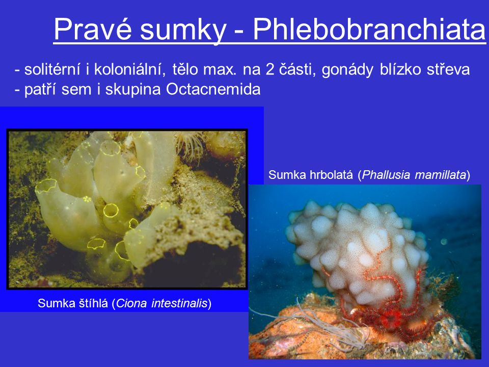 Sumka štíhlá (Ciona intestinalis) Pravé sumky - Phlebobranchiata Sumka hrbolatá (Phallusia mamillata) - solitérní i koloniální, tělo max.
