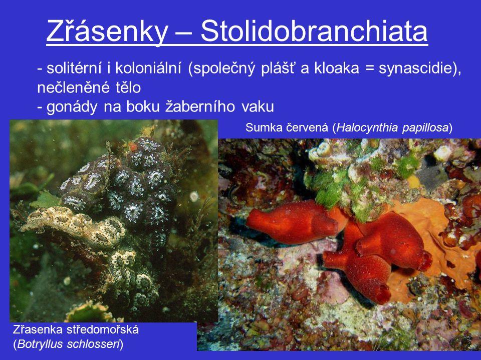 Zřásenky – Stolidobranchiata - solitérní i koloniální (společný plášť a kloaka = synascidie), nečleněné tělo - gonády na boku žaberního vaku Sumka červená (Halocynthia papillosa) Zřasenka středomořská (Botryllus schlosseri)
