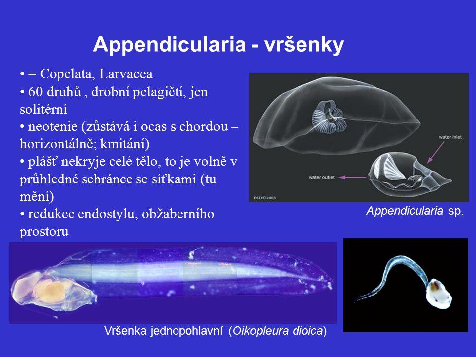 Appendicularia - vršenky = Copelata, Larvacea 60 druhů, drobní pelagičtí, jen solitérní neotenie (zůstává i ocas s chordou – horizontálně; kmitání) plášť nekryje celé tělo, to je volně v průhledné schránce se síťkami (tu mění) redukce endostylu, obžaberního prostoru Vršenka jednopohlavní (Oikopleura dioica) Appendicularia sp.