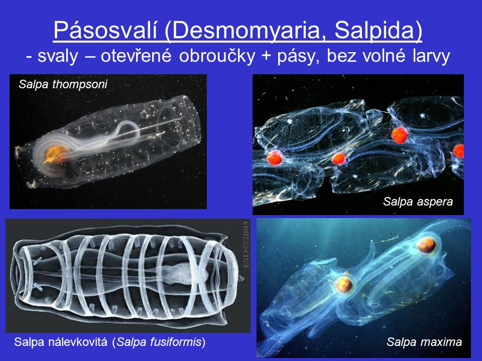 Pásosvalí (Desmomyaria, Salpida) - svaly – otevřené obroučky + pásy, bez volné larvy Salpa thompsoni Salpa aspera Salpa maximaSalpa nálevkovitá (Salpa fusiformis)