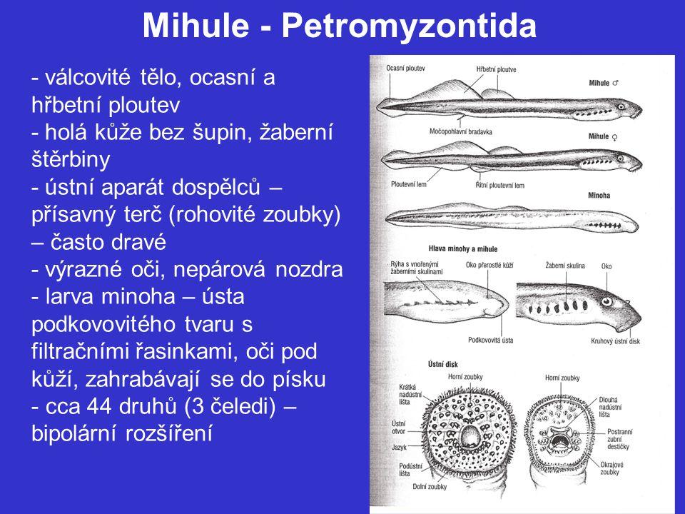 Mihule - Petromyzontida - válcovité tělo, ocasní a hřbetní ploutev - holá kůže bez šupin, žaberní štěrbiny - ústní aparát dospělců – přísavný terč (rohovité zoubky) – často dravé - výrazné oči, nepárová nozdra - larva minoha – ústa podkovovitého tvaru s filtračními řasinkami, oči pod kůží, zahrabávají se do písku - cca 44 druhů (3 čeledi) – bipolární rozšíření