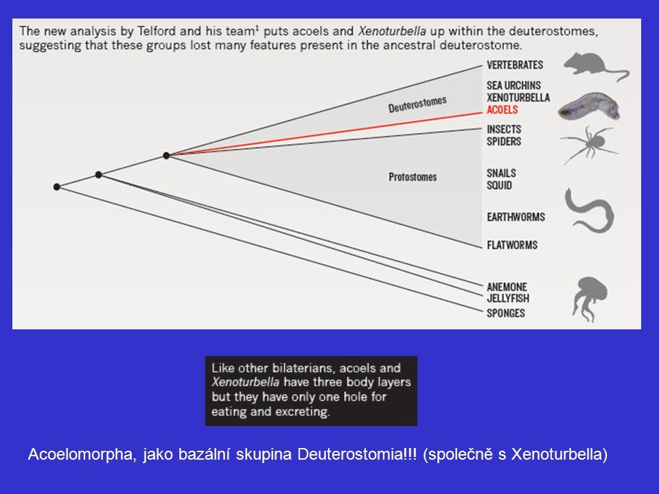 Acoelomorpha, jako bazální skupina Deuterostomia!!! (společně s Xenoturbella)