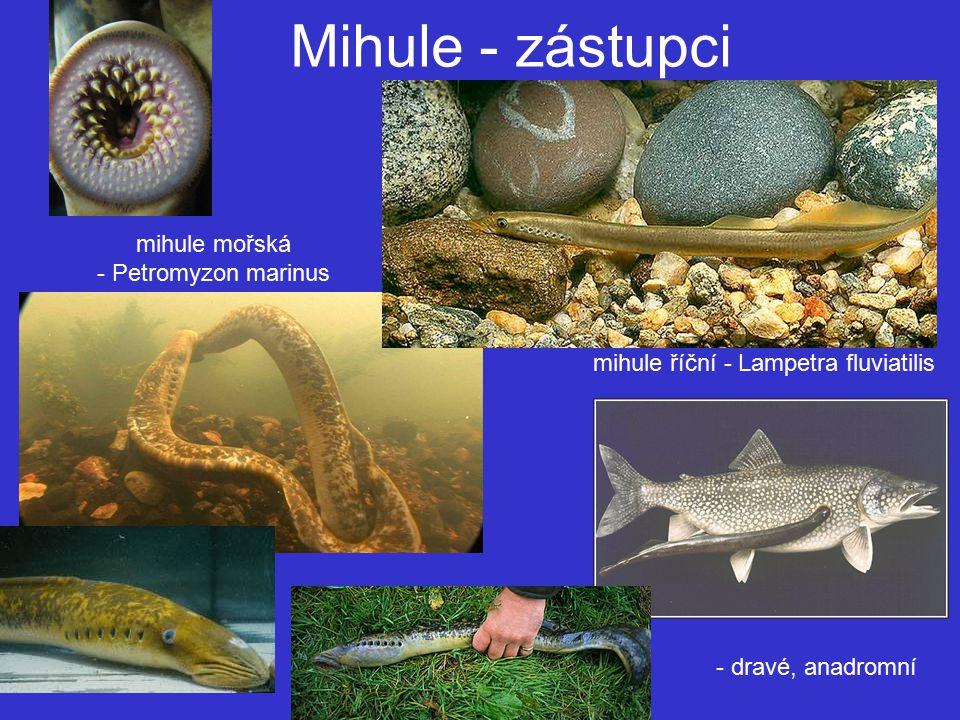 Mihule - zástupci mihule mořská - Petromyzon marinus mihule říční - Lampetra fluviatilis - dravé, anadromní