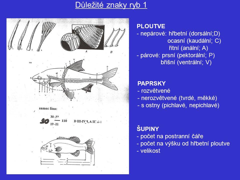 PLOUTVE - nepárové: hřbetní (dorsální;D) ocasní (kaudální; C) řitní (anální; A) - párové: prsní (pektorální; P) břišní (ventrální; V) PAPRSKY - rozvětvené - nerozvětvené (tvrdé, měkké) - s ostny (pichlavé, nepichlavé) Důležité znaky ryb 1 ŠUPINY - počet na postranní čáře - počet na výšku od hřbetní ploutve - velikost