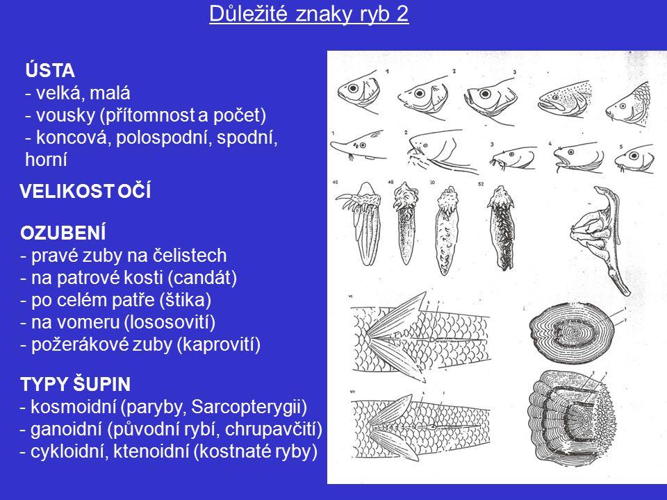 ÚSTA - velká, malá - vousky (přítomnost a počet) - koncová, polospodní, spodní, horní Důležité znaky ryb 2 TYPY ŠUPIN - kosmoidní (paryby, Sarcopterygii) - ganoidní (původní rybí, chrupavčití) - cykloidní, ktenoidní (kostnaté ryby) OZUBENÍ - pravé zuby na čelistech - na patrové kosti (candát) - po celém patře (štika) - na vomeru (lososovití) - požerákové zuby (kaprovití) VELIKOST OČÍ