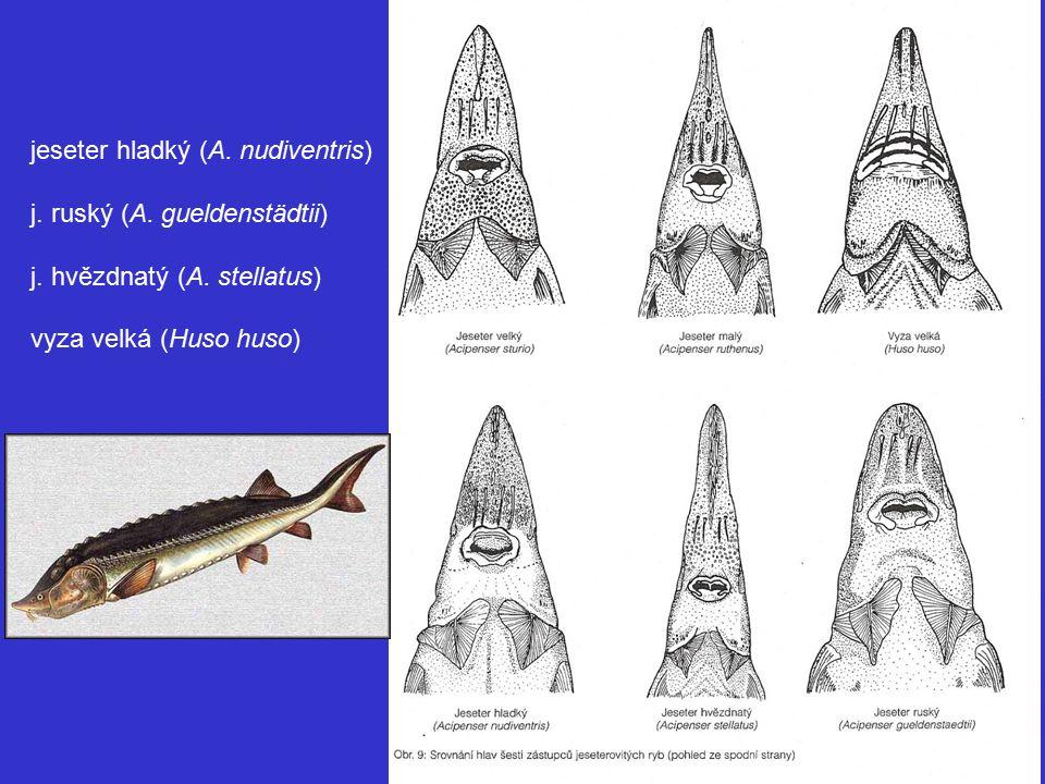 jeseter hladký (A.nudiventris) j. ruský (A. gueldenstädtii) j.