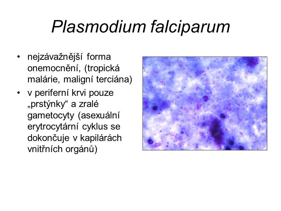 """Plasmodium falciparum nejzávažnější forma onemocnění, (tropická malárie, maligní terciána) v periferní krvi pouze """"prstýnky"""" a zralé gametocyty (asexu"""