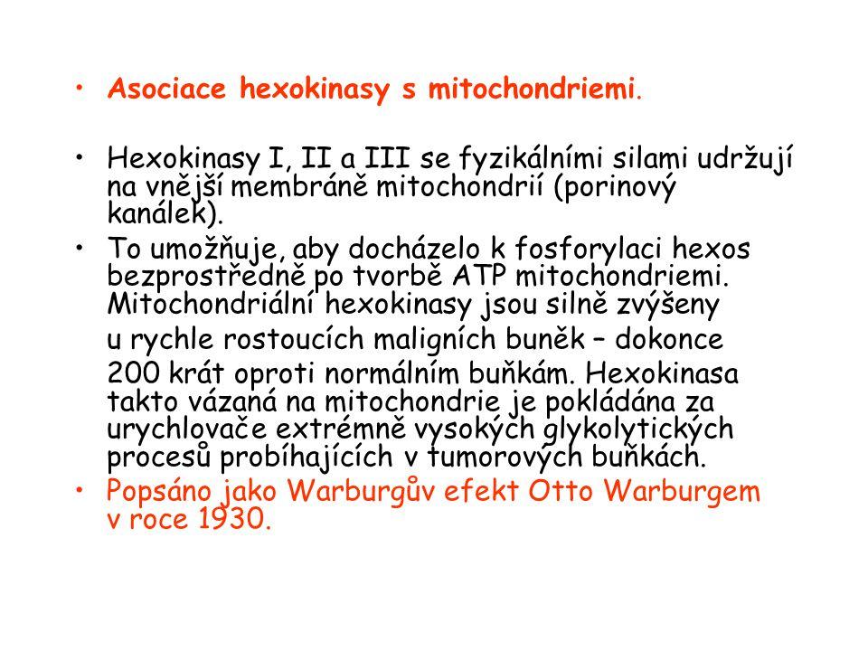 Asociace hexokinasy s mitochondriemi.