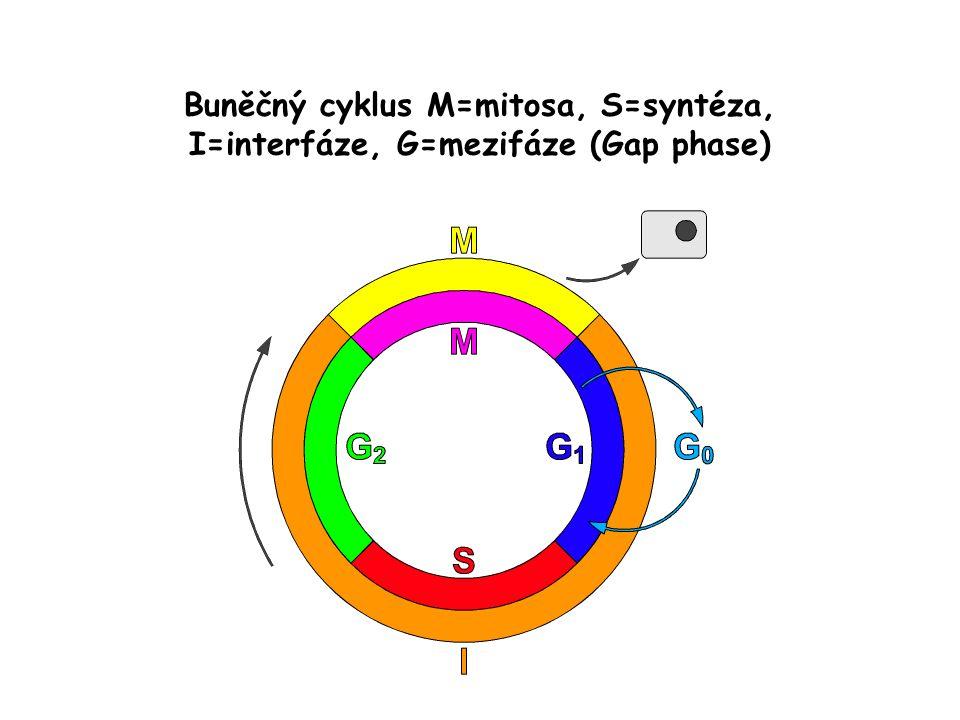 Buněčný cyklus M=mitosa, S=syntéza, I=interfáze, G=mezifáze (Gap phase)