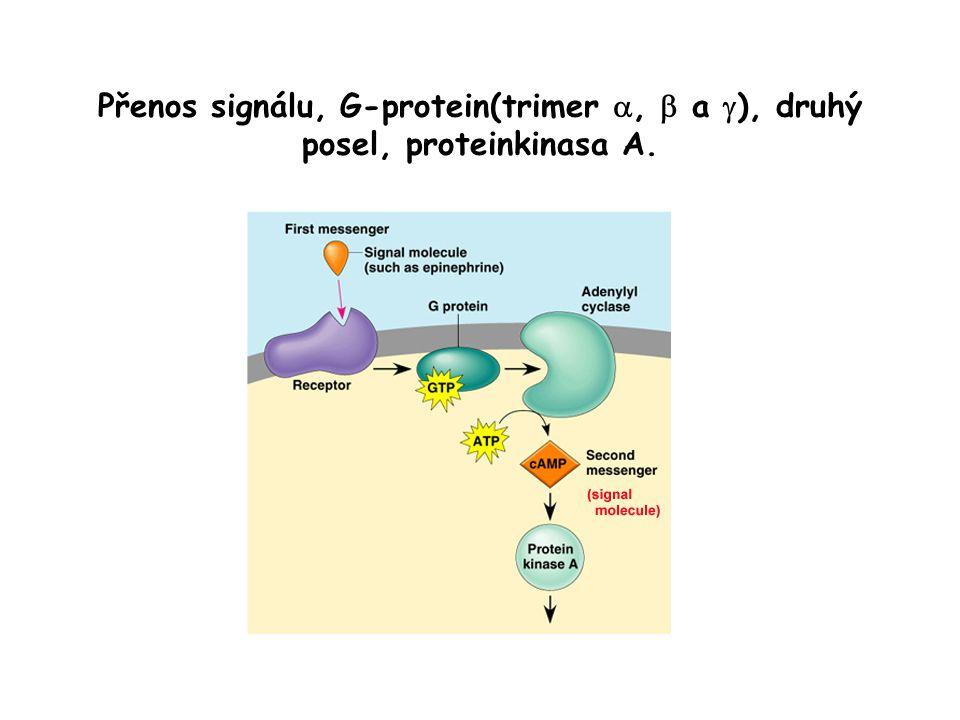 Přenos signálu, G-protein(trimer ,  a  ), druhý posel, proteinkinasa A.