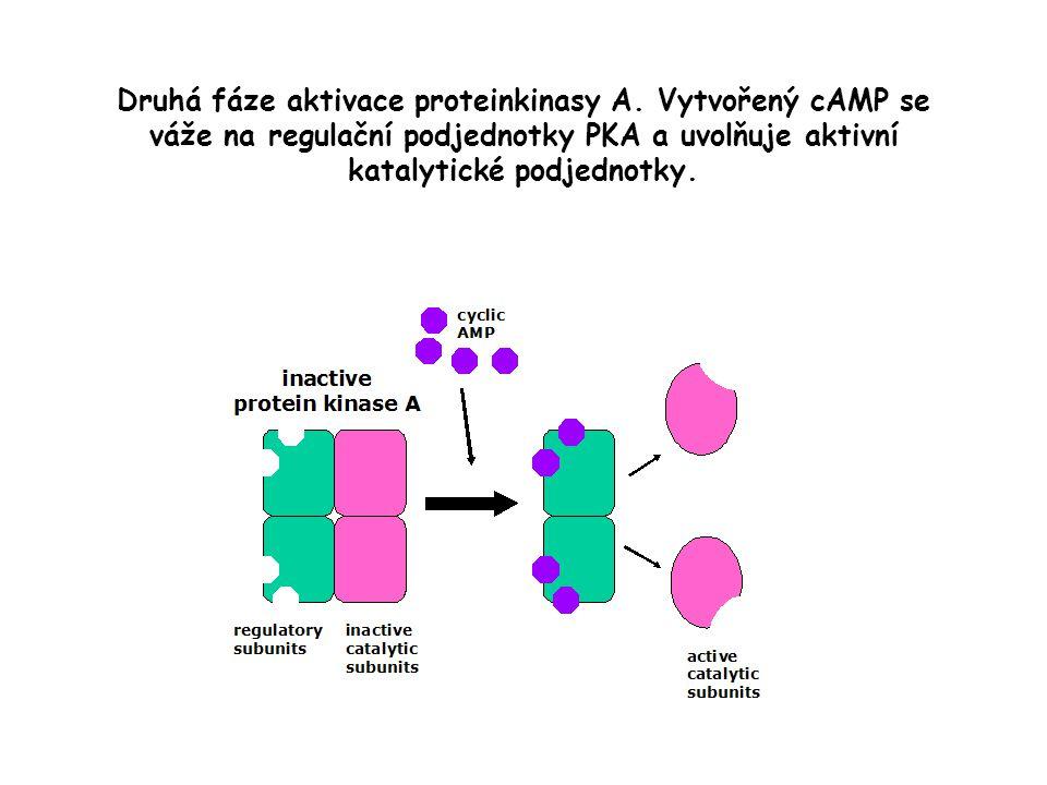 Druhá fáze aktivace proteinkinasy A.