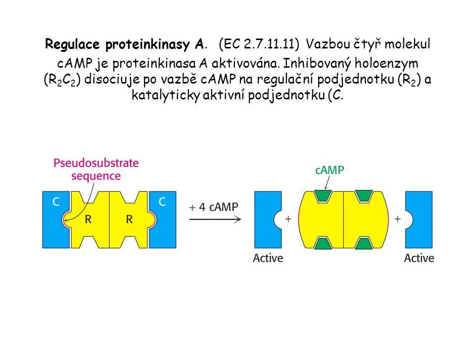 Regulace proteinkinasy A.(EC 2.7.11.11) Vazbou čtyř molekul cAMP je proteinkinasa A aktivována.