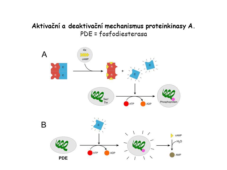 Aktivační a deaktivační mechanismus proteinkinasy A. PDE = fosfodiesterasa