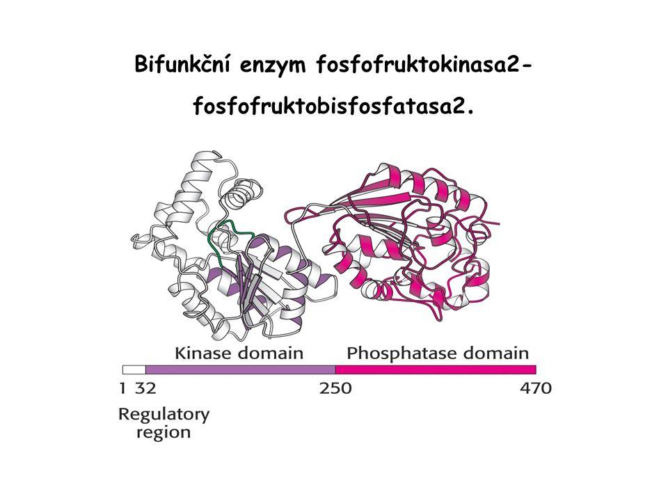 Bifunkční enzym fosfofruktokinasa2- fosfofruktobisfosfatasa2.