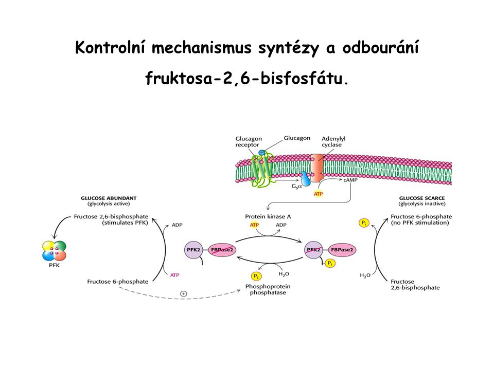Kontrolní mechanismus syntézy a odbourání fruktosa-2,6-bisfosfátu.