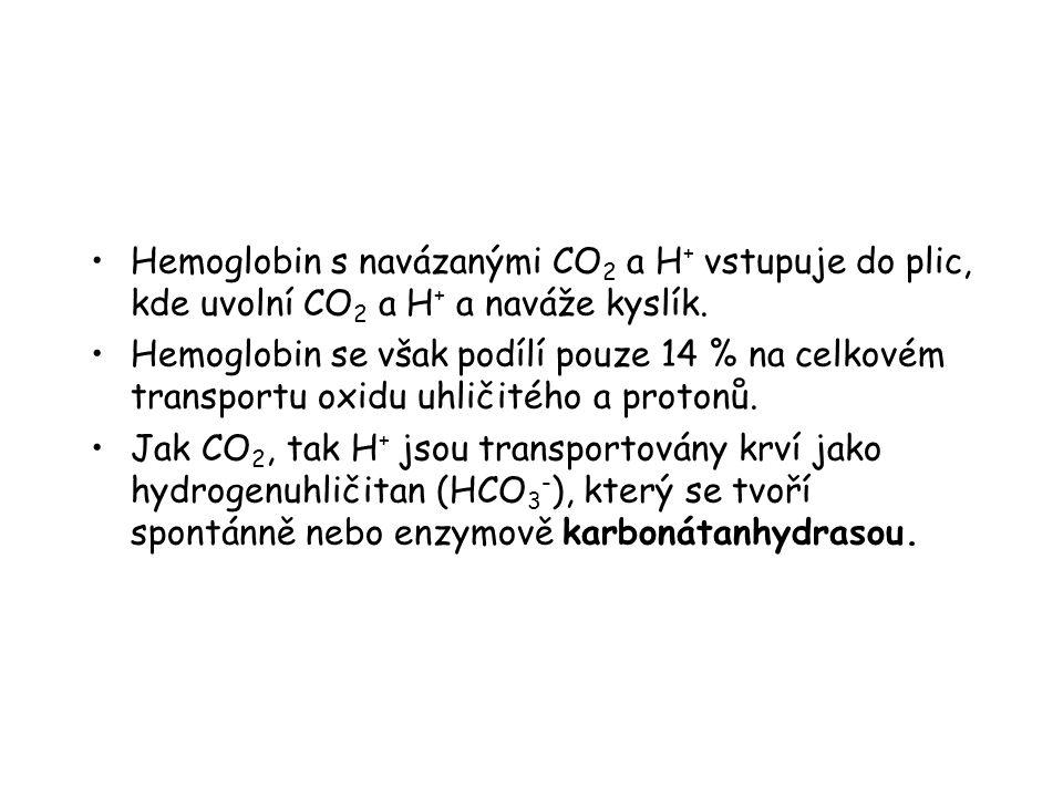 Hemoglobin s navázanými CO 2 a H + vstupuje do plic, kde uvolní CO 2 a H + a naváže kyslík.
