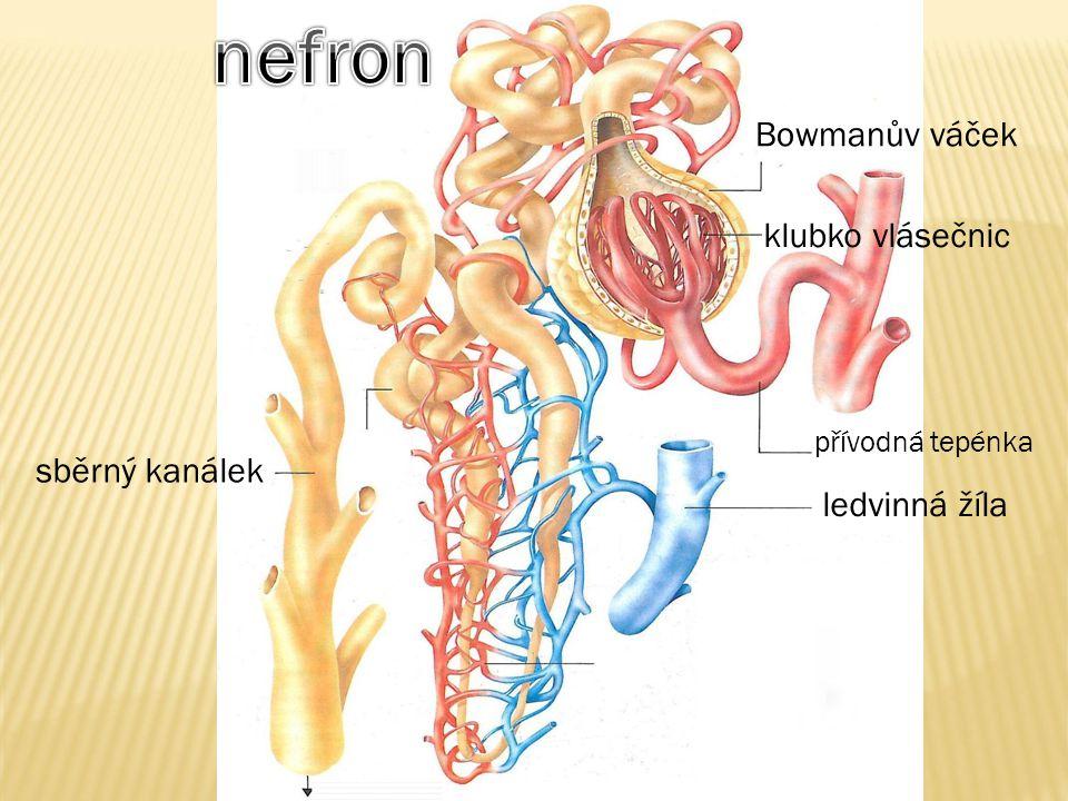 Bowmanův váček přívodná tepénka ledvinná žíla klubko vlásečnic sběrný kanálek