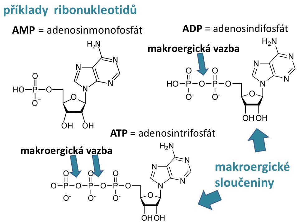 AMP = adenosinmonofosfát příklady ribonukleotidů ADP = adenosindifosfát ATP = adenosintrifosfát makroergická vazba makroergické sloučeniny