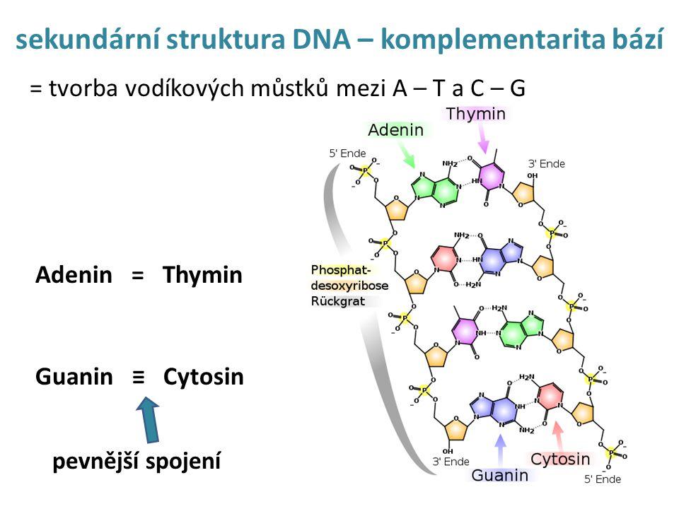 sekundární struktura DNA – komplementarita bází = tvorba vodíkových můstků mezi A – T a C – G Adenin = Thymin Guanin ≡ Cytosin pevnější spojení