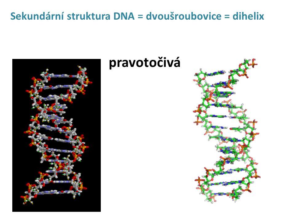 Sekundární struktura DNA = dvoušroubovice = dihelix pravotočivá