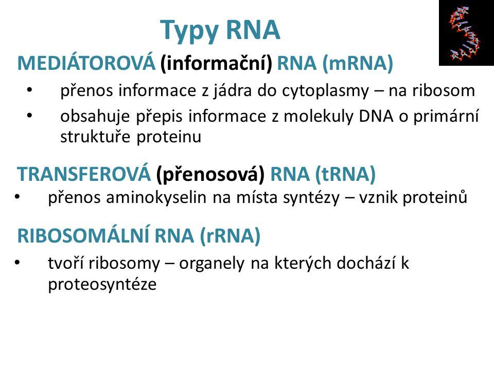 Typy RNA MEDIÁTOROVÁ (informační) RNA (mRNA) [9] přenos informace z jádra do cytoplasmy – na ribosom obsahuje přepis informace z molekuly DNA o primár