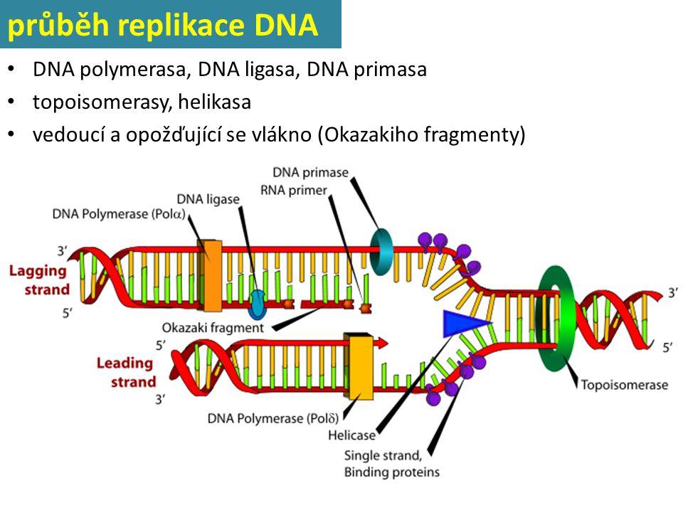 průběh replikace DNA DNA polymerasa, DNA ligasa, DNA primasa topoisomerasy, helikasa vedoucí a opožďující se vlákno (Okazakiho fragmenty)