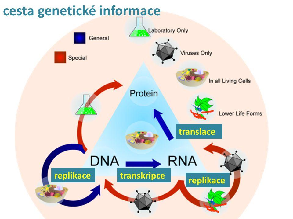replikacetranskripce translace cesta genetické informace replikace