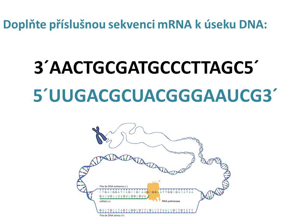 Doplňte příslušnou sekvenci mRNA k úseku DNA: 3´AACTGCGATGCCCTTAGC5´ 5´UUGACGCUACGGGAAUCG3´