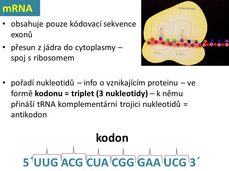 obsahuje pouze kódovací sekvence exonů přesun z jádra do cytoplasmy – spoj s ribosomem 5´UUG ACG CUA CGG GAA UCG 3´ kodon pořadí nukleotidů – info o v