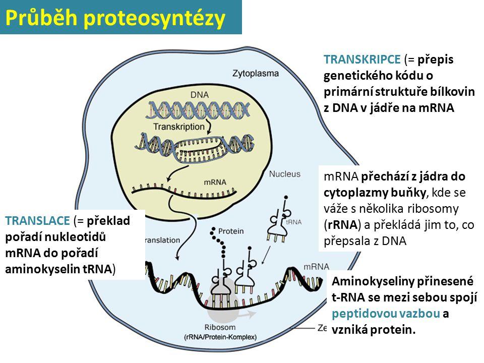 TRANSKRIPCE (= přepis genetického kódu o primární struktuře bílkovin z DNA v jádře na mRNA mRNA přechází z jádra do cytoplazmy buňky, kde se váže s ně
