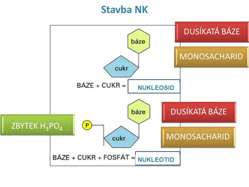 Základní stavební jednotkou NK je: DUSÍKATÁ BÁZE A, G, C, T (DNA) A, G, C, U (RNA) MONOSACHARID 2-deoxy-D-ribosa (DNA) D-ribosa (RNA) ZBYTEK H3PO4 FOSFÁT NUKLEOSID NUKLEOTID