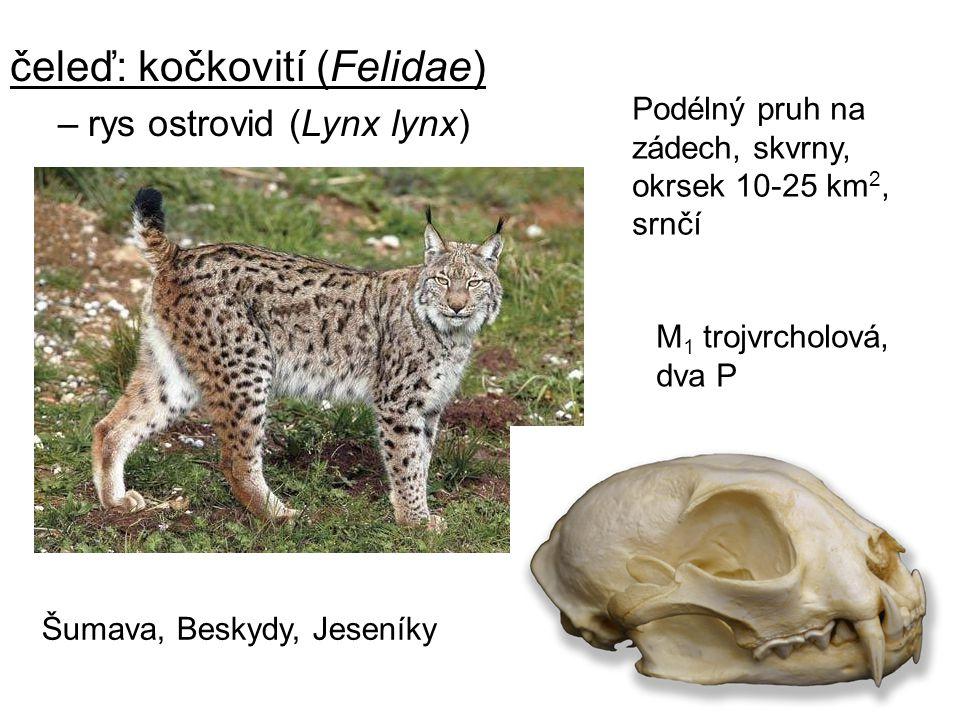 11 čeleď: kočkovití (Felidae) –rys ostrovid (Lynx lynx) Šumava, Beskydy, Jeseníky Podélný pruh na zádech, skvrny, okrsek 10-25 km 2, srnčí M 1 trojvrc