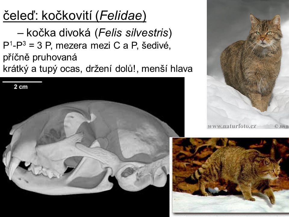12 čeleď: kočkovití (Felidae) –kočka divoká (Felis silvestris) P 1 -P 3 = 3 P, mezera mezi C a P, šedivé, příčně pruhovaná krátký a tupý ocas, držení