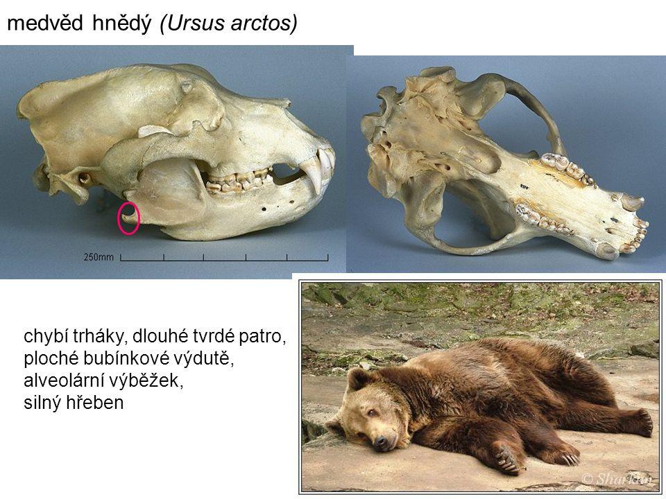 16 chybí trháky, dlouhé tvrdé patro, ploché bubínkové výdutě, alveolární výběžek, silný hřeben medvěd hnědý (Ursus arctos)